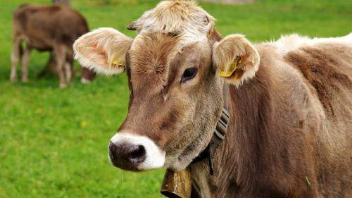 """Incredibil! Vaca ar putea deveni """"în câteva sute de ani"""" cel mai mare mamifer terestru"""