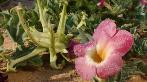 Tratamente naturiste, GHEARA DIAVOLULUI este... LEACUL LUI DUMNEZEU. Ce boli vindecă această plantă miraculoasă