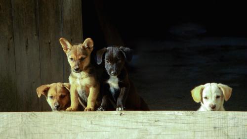 De ce câinii născuți vara sunt mai predispuși problemelor... cardiace