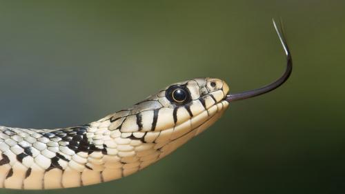 O singură mușcătură de șarpe a ucis două persoane în India