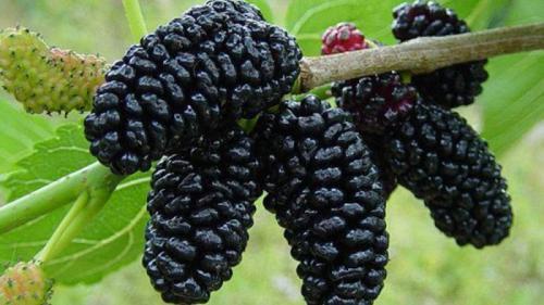 Tratamente naturiste. Dudele, fructele care îţi prelungesc viaţa şi beneficiile lor uimitoare