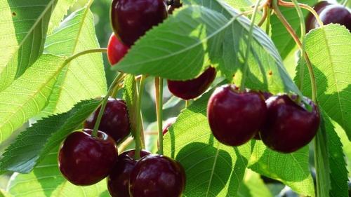 Fructul care inlocuieste mai multe medicamente