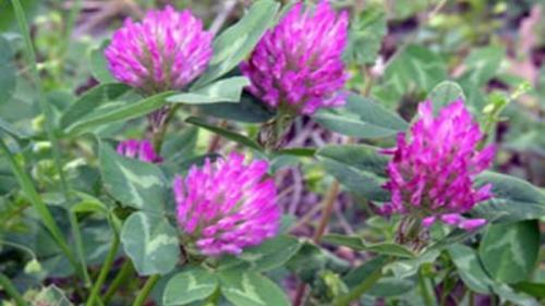 """Tratamente naturiste. Planta din ogradă care """"aduce noroc"""" şi te menţine sănătos. Află ce boli vindecă trifoiul și rețetele de leac"""