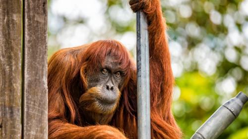 Puan, cel mai bătrân urangutan de Sumatra, a murit