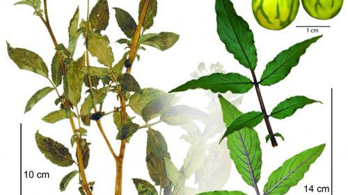 O plantă de cartof culeasă de Charles Darwin în 1835 va fi expusă în premieră după ce a fost redescoperită într-un dulap