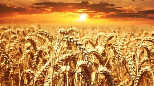 Seceta din Europa scumpeste grâul!