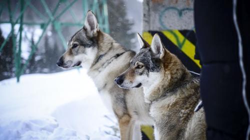 """O haită de lupi cehi, """"actori"""" în ultimul episod al serialului """"Băieți de oraș"""""""