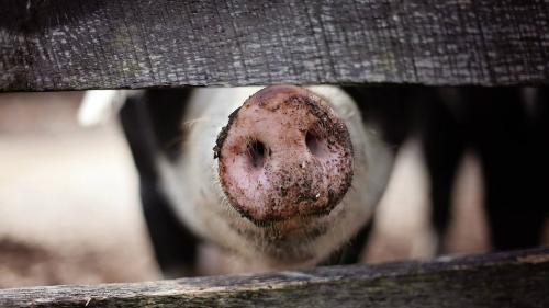 Ecologiștii din Mureș cer revizuirea Planului Suplimentar pentru combaterea pestei porcine
