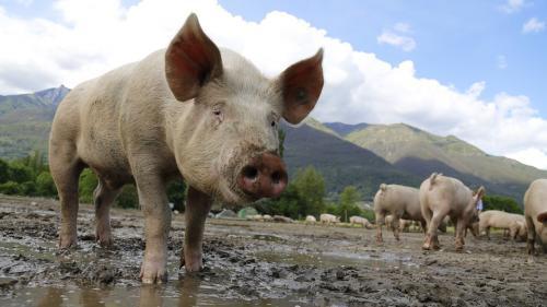 Numărul focarelor de pestă porcină africană a ajuns la 677;104.594 de porci ucişi şi despăgubiri plătite de 218.000 de lei