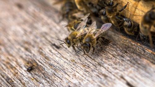 Productia de miere grav afectata de vremea capricioasă