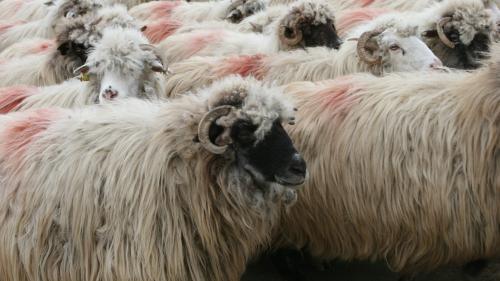 Vine peste noi şi pesta ovinelor