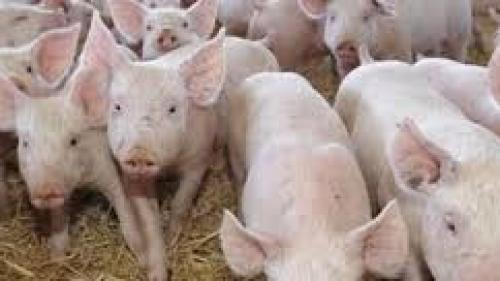 Alertă la Constanţa! Se extinde virusul pestei porcine africane în localităţile de la malul Dunării