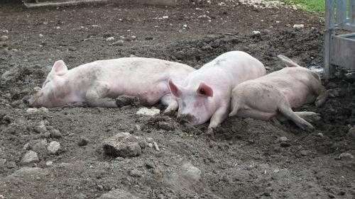 Tot mai multe cadavre de porci pe Dunăre
