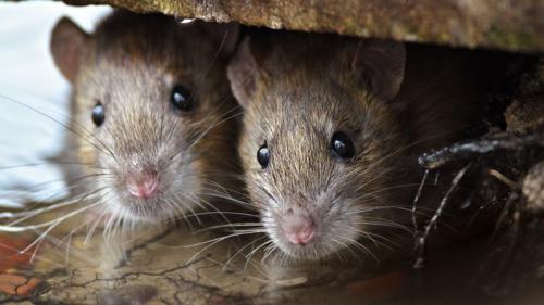 Şoareci născuţi din două mame, creaţi în laborator de cercetătorii din China