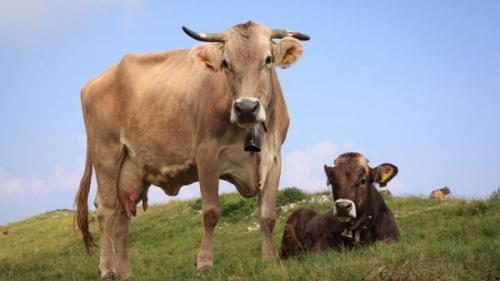 Mângâierea vacilor poate deveni o terapie la modă