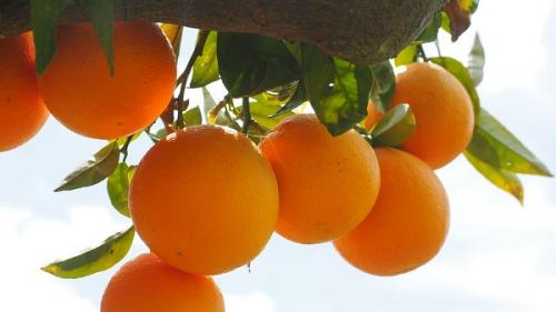 Vrei să crești portocali? Noi îți spunem ce trebuie să facica să obții portocale de calitate