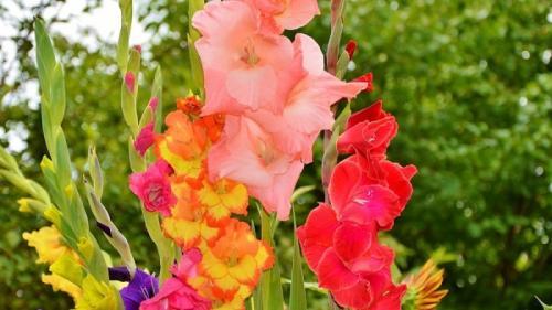 Ce trebuie să faci ca să ai cele mai frumoase gladiole în grădină