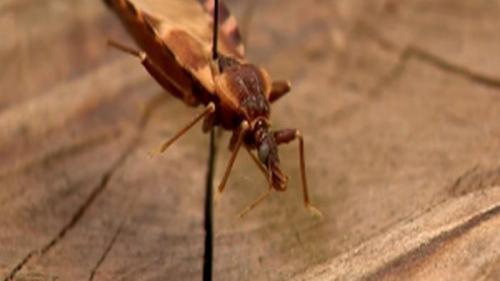 """Acest gândac ucide zeci de mii de oameni prin """"sărutul"""" său letal"""