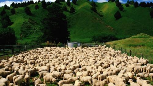 Reguli pentru transhumanţa ovinelor (sfaturi pentru agricultori)