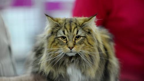 SofistiCAT 2019. Concursul celor mai frumoase pisici (GALERIE FOTO)