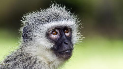 Cercetătorii au creat maimuţe modificate genetic cu similarităţi umane
