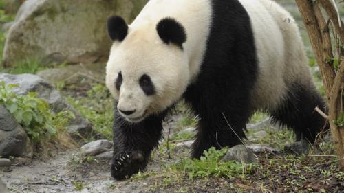 Grădina Zoologică din Viena a primit un urs panda din China