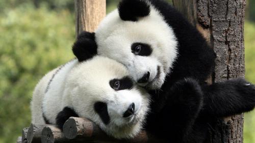 China a creat o aplicaţie de recunoaştere facială a urşilor panda