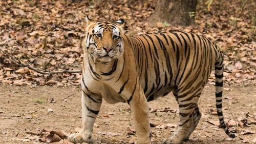 India - Superstiţiile, responsabile pentru uciderea a 11 tigri într-un stat din centrul ţării în ultimul an