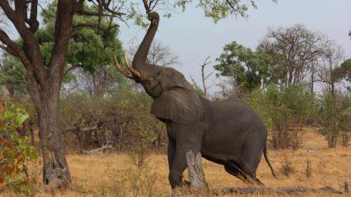 Botswana a dat liber la vânătoarea de elefanţi