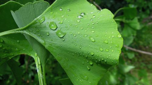 Plante care îţi îmbunătăţesc memoria