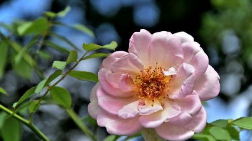 13 beneficii ale uleiului de trandafiri, pentru sănătate. Tu le știai?