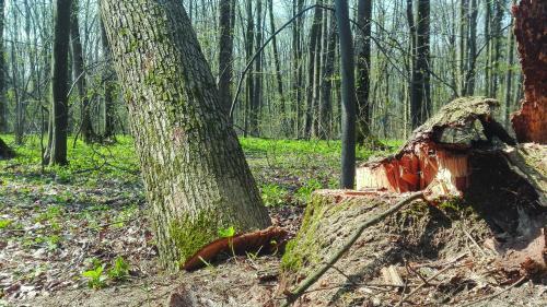Peste 3.300 de copaci, tăiaţi ilegal în Munţii Rodnei. Prejudiciul depăşeşte un milion de lei