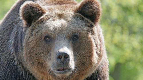 Copii, atacați de urs în județul Brașov