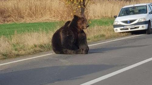 Ședință la Ministerul Mediului în cazul ursului lăsat să zacă pe marginea străzii, în Harghita