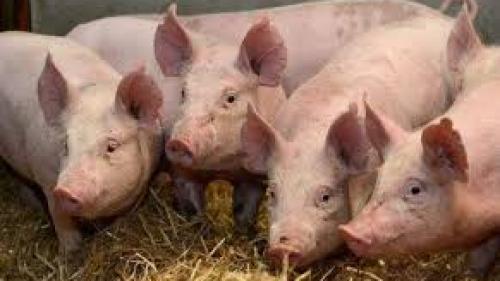 Două noi focare de pestă porcină africană în Olt