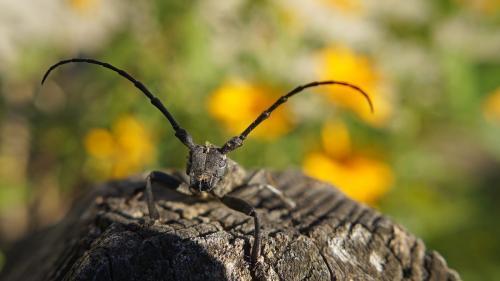 Soluţie la autostradă: Gândacul croitor, izgonit cu feromoni