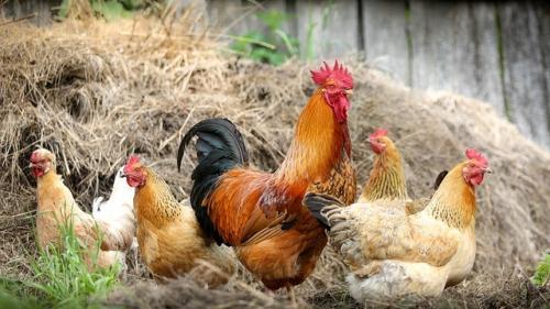 Cum se curăță corect cotețele găinilor. 6 pași de urmat