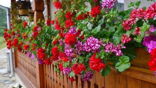 Cum trebuie plantate și îngrijite frumoasele mușcate