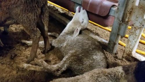 Transportul animalelor vii pe caniculă, permis prin lege