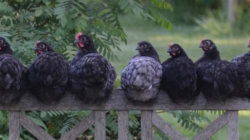 VIDEO: Cele mai scumpe găini din lume sunt complet negre