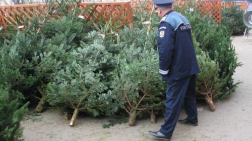 Sute de brazi de Crăciun, tăiați ilegal, confiscați de polițiști