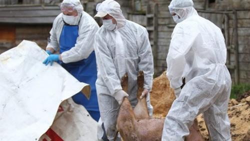 Focar de pestă porcină africană, confirmat într-o fermă din Bistrița-Năsăud