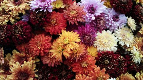Crizantema: de la origine la semnificație