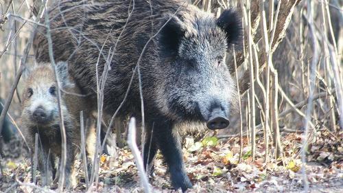 Cazuri de pestă porcină africană la mistreții din două fonduri de vânătoare