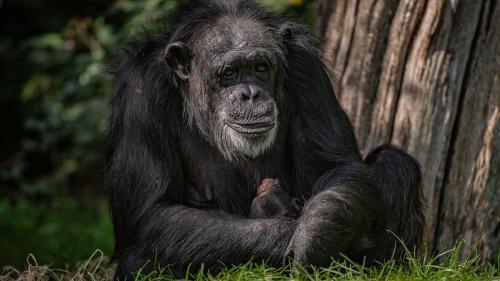 Dependent de alcool și țigări, un cimpanzeu  legat 25 de ani a fost eliberat