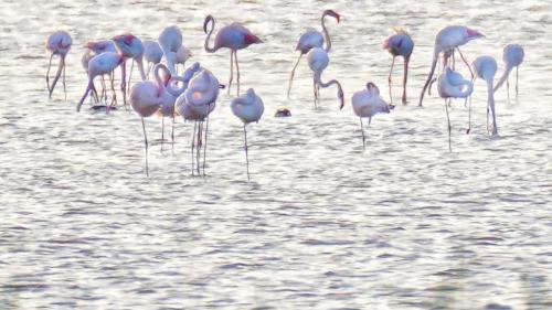 Zeci de flamingo s-au refugiat în Rezervația Delta Dunării