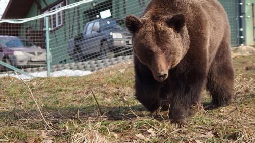 Un urs și-a făcut apariția într-o comună din Botoșani. Autoritățile au emis mesaj RO Alert
