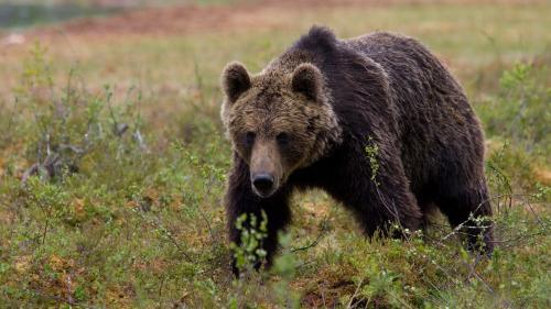 Ministerul Mediului vrea triplarea amenzilor pentru persoanele care hrănesc urși