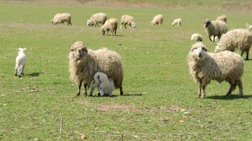 Premierul Cîțu a rezolvat problema exportului de ovine și caprine – prin eliminare