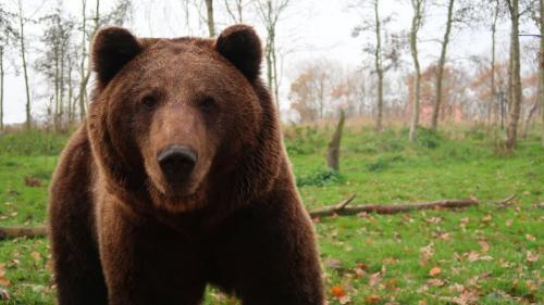 Încă un urs mort după ce a fost lovit de mașină